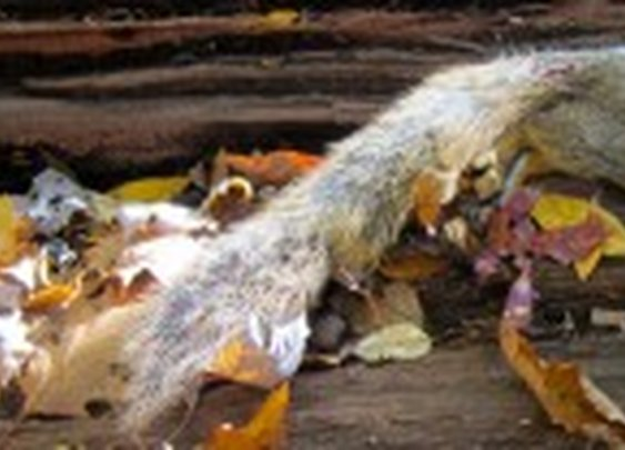 How to Cut Up a Squirrel for Cooking | Hunter Angler Gardener Cook
