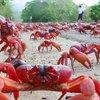 BBC - Travel - Australia's sea of crimson claws : Wildlife, Australia