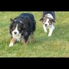 The Collie Walk - Just playin..