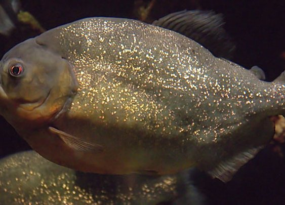 70 Injured in Christmas Piranha Attack | News from the Field | OutsideOnline.com