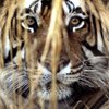 BBC - Why are India's tigers killing humans?