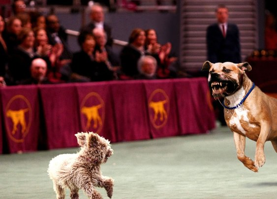 Nitro Expected To Win Westminster Dog Fight | The Onion - America's Finest News Source