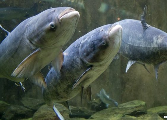 BBC News - Chicago goes to war with Asian carp