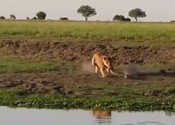 Lioness Attacks Crocodile
