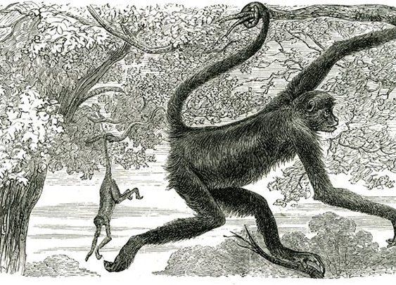 Victorian strangeness: The death of a curious monkey