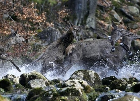 Czech deer still avoid Iron Curtain