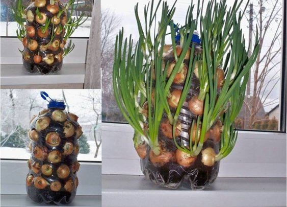 How To Grow An Endless Supply Of Onions Indoors