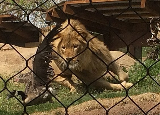 Photos: Lion at Hogle Zoo snags impromptu meal   FOX13Now.com