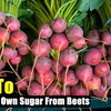 How To Make Your Own Sugar From Beets - SHTF Preparedness