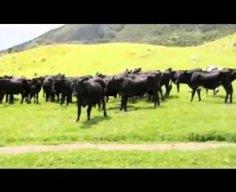 Cow's Vs  Remote Control Car (Benny Hill Edition)