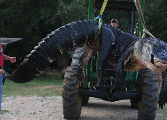 Giant Alligator Literally Broke The Scale When Biologists Weighed It