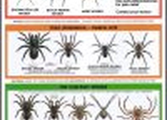 Spider Info , Brown Recluse , Hobo, And Black Widow