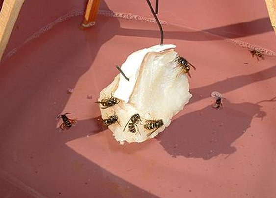Eliminate Yellow Jackets and Wasps With This Non-Toxic Homemade Trap