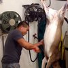 How to skin and gut a deer like a boss, in under two minutes (VIDEO)