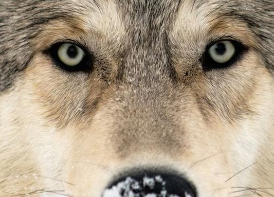 BBC - Future - How reintroducing wolves helped save a famous park