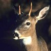 Watch This Spike Buck Turn Into A Monster Boone & Crockett Buck [PICS] - Whitetail Overload