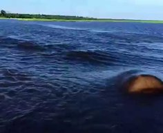 Hippo Charge on Chobe River Jan2015, recorded with iPhone 6; Botswana - YouTube