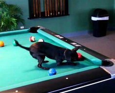 Chihuahua  Playing Pool - YouTube