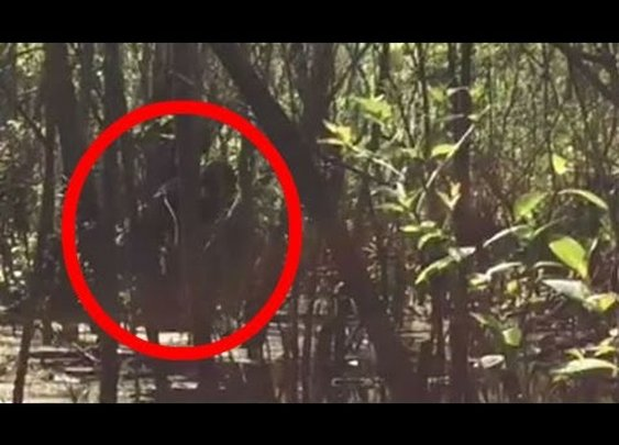 Compelling Footage of Skunkape/Bigfoot From Lettuce Lake Park Florida - YouTube