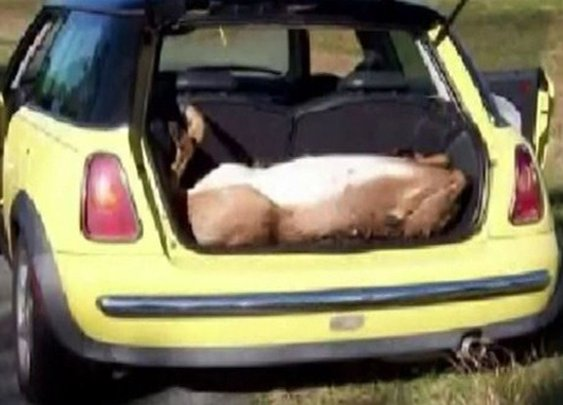 Four drunk guys go deer hunting illegally... in a MINI Cooper!