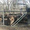 BoarBuster Feral Hog Live Trap