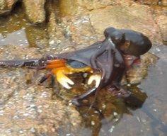 Octopus captures crab in Western Australia