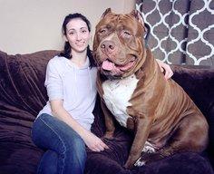 Profile of Hulk, a 175-pound pit bull