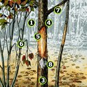 Whitetails: What Rubs Can Tell You