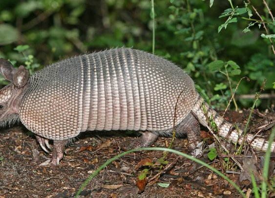 Experts warn Floridians to steer clear of armadillos to avoid... | www.actionnewsjax.com