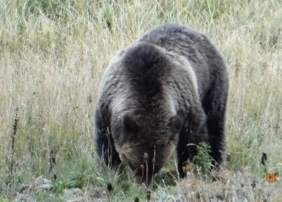 Hunter escapes attack by shoving arm down bear's throat