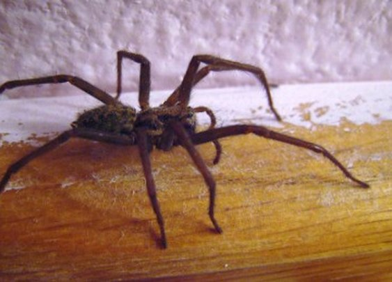 Australian police accuse man of violence -- spider dead  - CNN.com