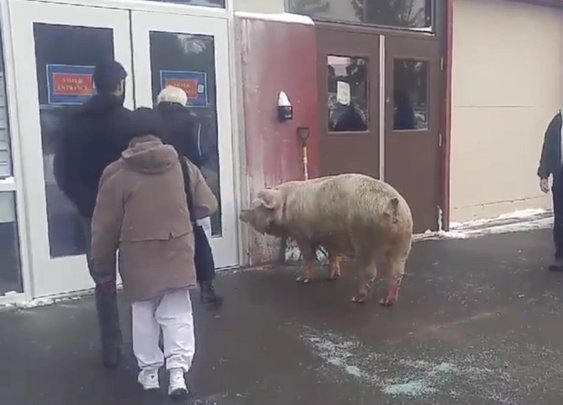 600-pound pig escapes from NH farm, tries to go vote