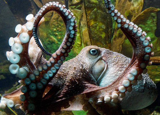The great escape: Inky the octopus legs it to freedom from aquarium