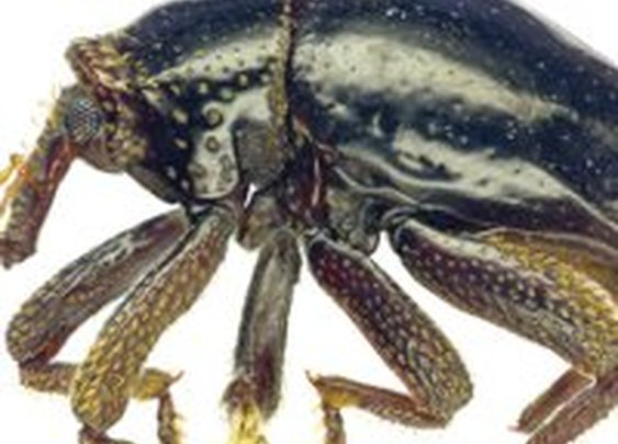 New Beetle Species Named for Chewbacca