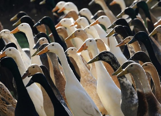 Army of 1,000 Ducks Used as Brilliant Pesticide Alternative