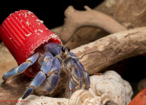 Incredible Photos of the Hermit Crabs Who Live In Trash | Atlas Obscura