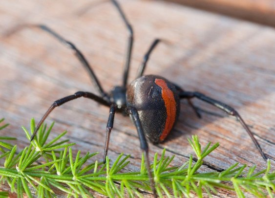 Man bitten on penis by venomous spider for the second time | Fox News