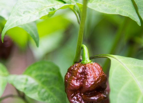 Man eats a pepper so hot it tore a hole in his esophagus