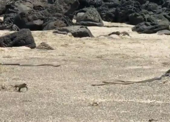 A Hatchling Sea Iguana Tries To Escape The Worst Death Imaginable