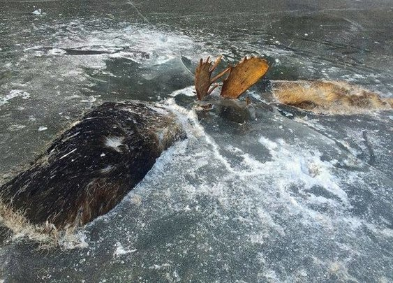 Found: Two Moose Frozen Together in a Final Battle   Atlas Obscura