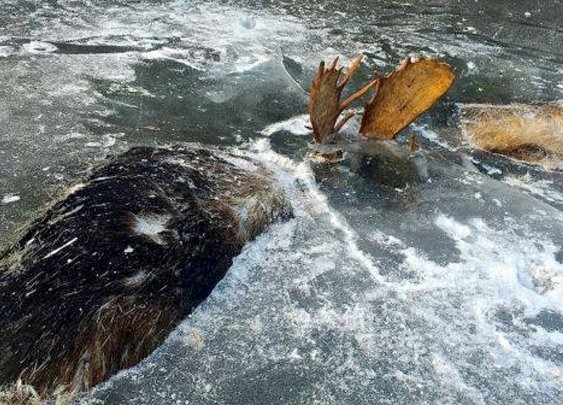 Two moose in Alaska found frozen together, locked in battle to the death
