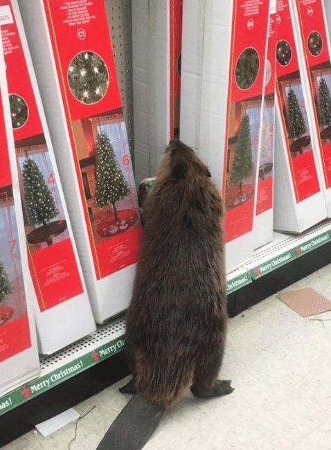 Beaver walks into store finds only Christmas trees, and proceeds to trash it