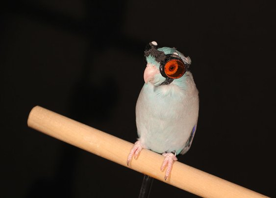 How Lasers and a Goggle-Wearing Parrot Could Aid Flying Robot Designs
