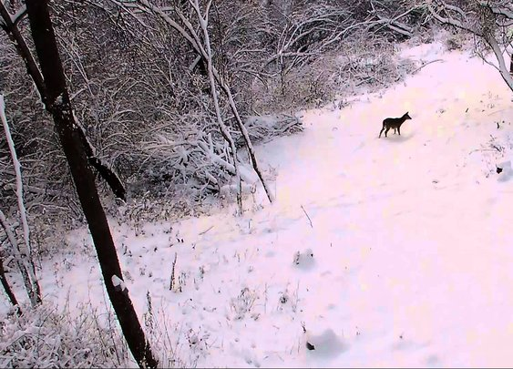 Rudolph Caught on Trail Camera
