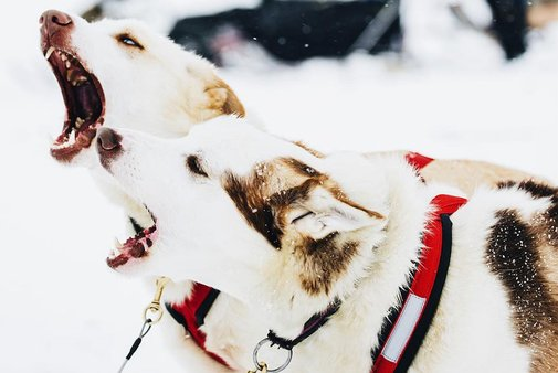 Now's Your Chance to Dog Sled the Iditarod Trail