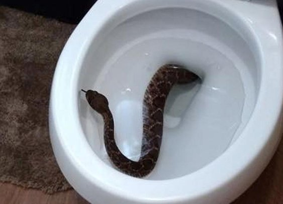 Texas family finds rattlesnake in toilet, 24 on their property