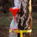 How to Collect Birch Sap