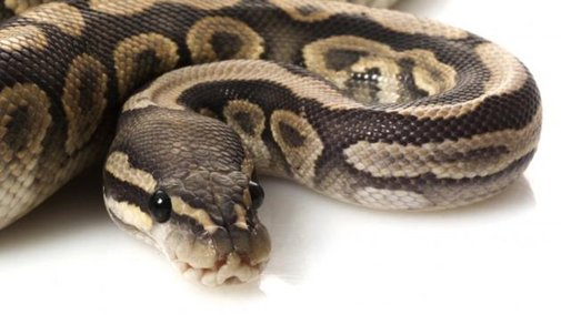 Indonesia man swallowed by python