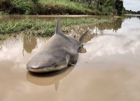 Bull shark found dead in puddle after Cyclone Debbie