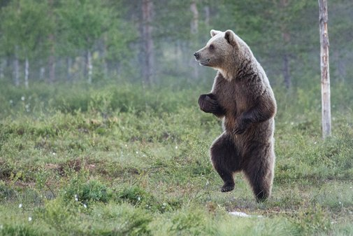 Wild bears do the twist to communicate through smelly footprints